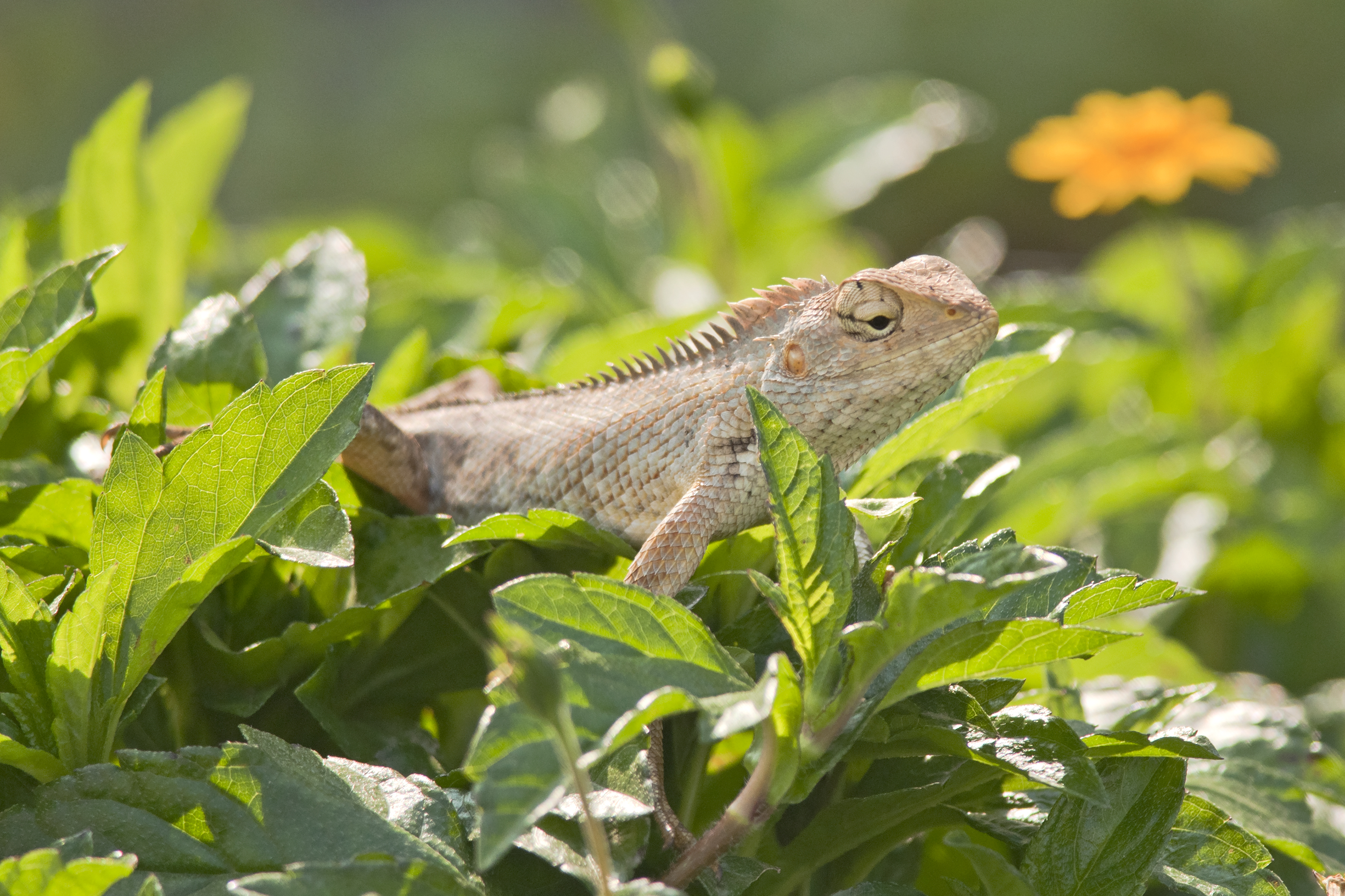 oriental garden lizard from talegaon india photographer anupam mondal - Garden Lizard